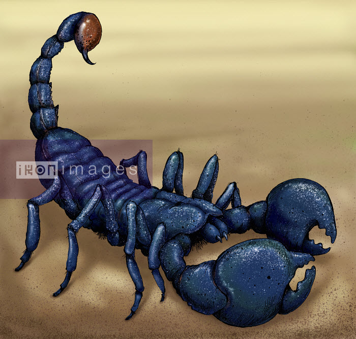 Close up of Emperor Scorpion - Close up of Emperor Scorpion - Sholto Walker