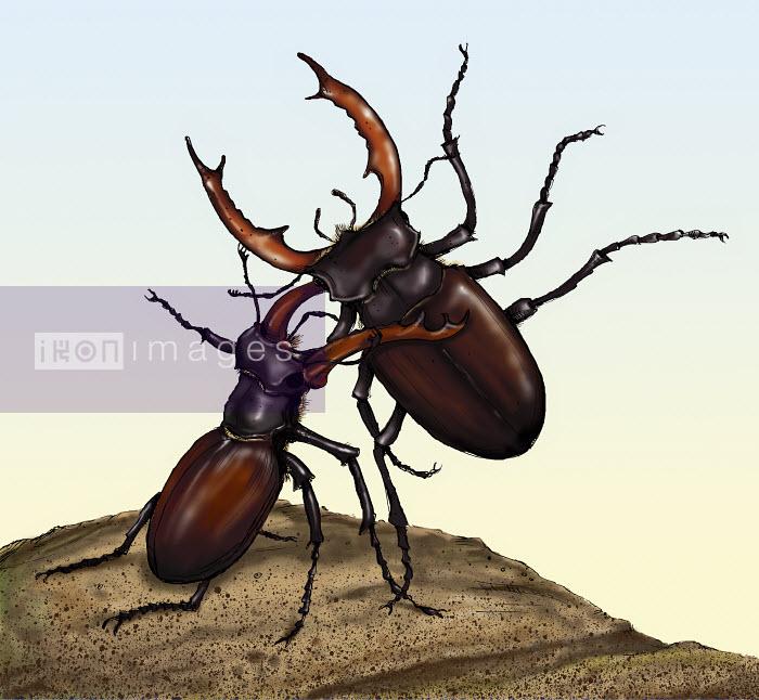 Two fighting stag beetles - Two fighting stag beetles - Sholto Walker
