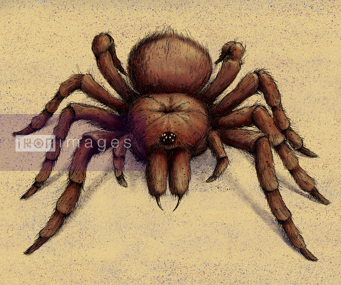 Goliath Birdeater Tarantula spider - Goliath Birdeater Tarantula spider - Sholto Walker