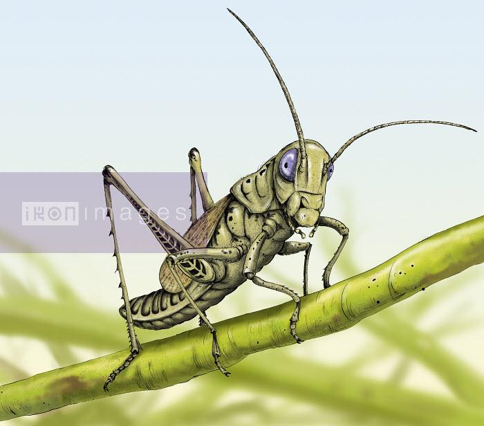 Close up of grasshopper on stem - Close up of grasshopper on stem - Sholto Walker