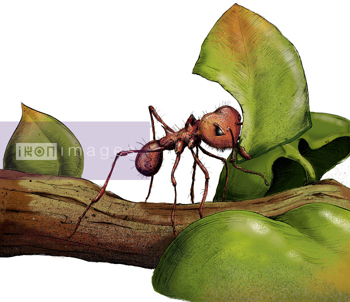 Close up of leafcutter ant on twig with leaf - Close up of leafcutter ant on twig with leaf - Sholto Walker