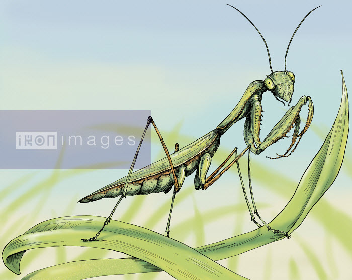 Close up of praying mantis on blade of grass - Close up of praying mantis on blade of grass - Sholto Walker