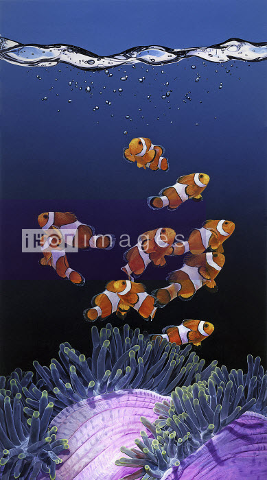 Shoal of Clownfish and Magnificent Sea Anemone - Shoal of Clownfish and Magnificent Sea Anemone - Andrew Beckett