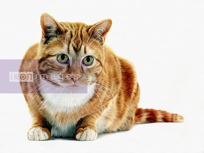 Ginger cat - Ginger cat - Andrew Beckett