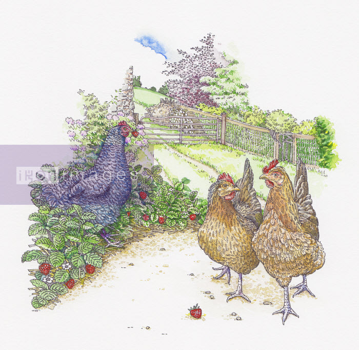 Maran and Welsummer chickens walking and eating strawberries in garden - Maran and Welsummer chickens walking and eating strawberries in garden - Liz Pepperell