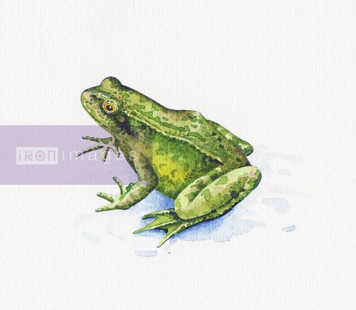 Common Frog (Rana Temporaria) - Common Frog (Rana Temporaria) - Liz Pepperell