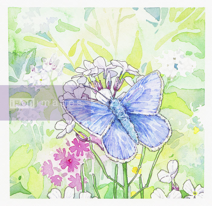Common Blue Butterfly on flowers - Common Blue Butterfly on flowers - Liz Pepperell