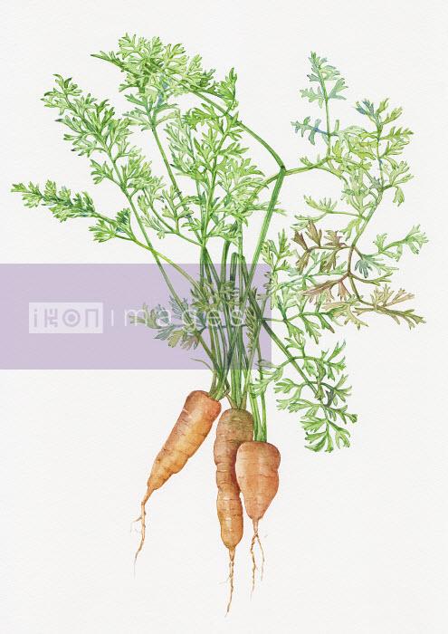 Bunch of carrots - Bunch of carrots - Liz Pepperell