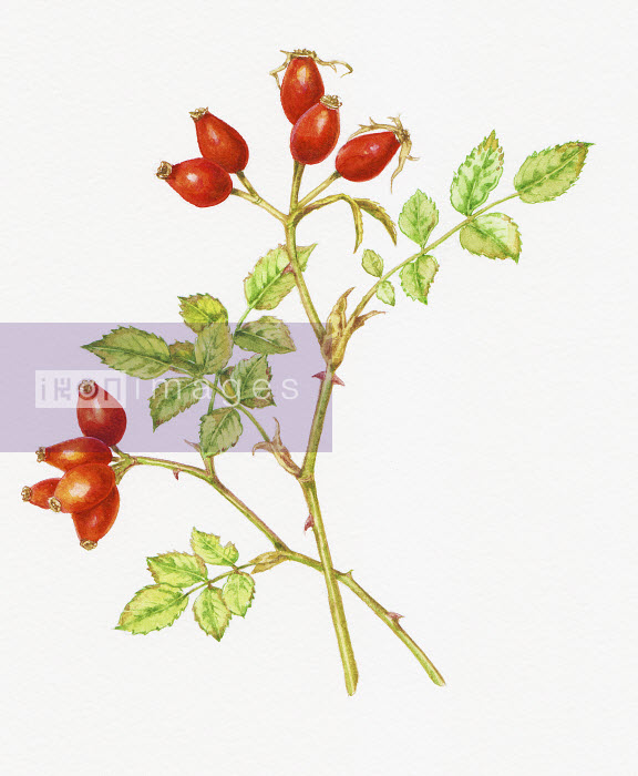 Rose hips on stems of Dog Rose (Rosa Canina) - Rose hips on stems of Dog Rose (Rosa Canina) - Liz Pepperell
