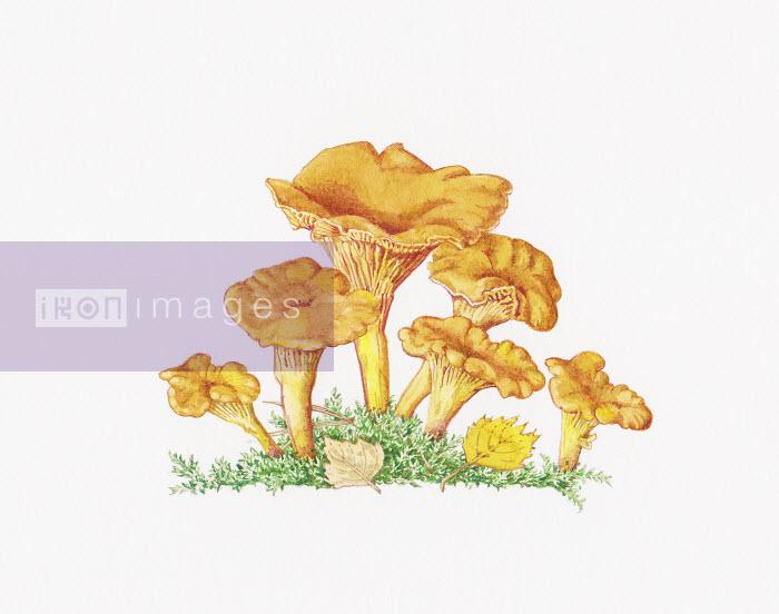 Chanterelle (Cantharellus Cibarius) mushrooms - Chanterelle (Cantharellus Cibarius) mushrooms - Liz Pepperell