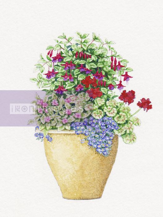 Plant pot with Fuchsia, Pelargonium, Impatiens and Felicia - Plant pot with Fuchsia, Pelargonium, Impatiens and Felicia - Liz Pepperell