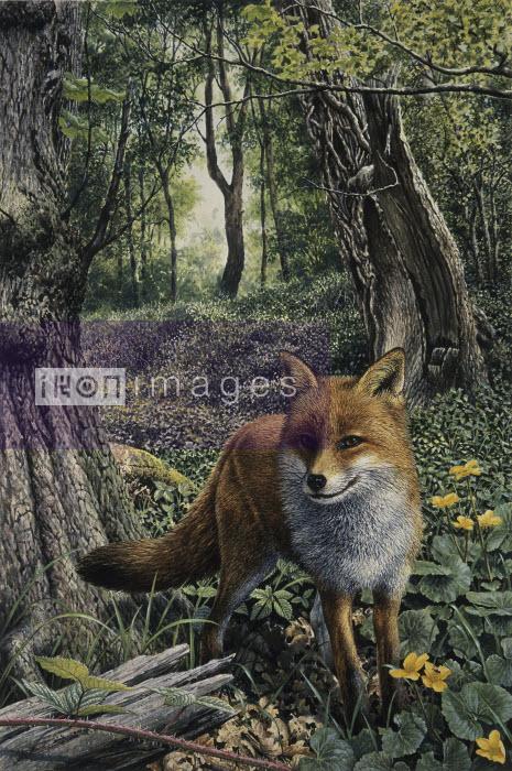 Alert red fox in woodland - Alert red fox in woodland - Pictorum