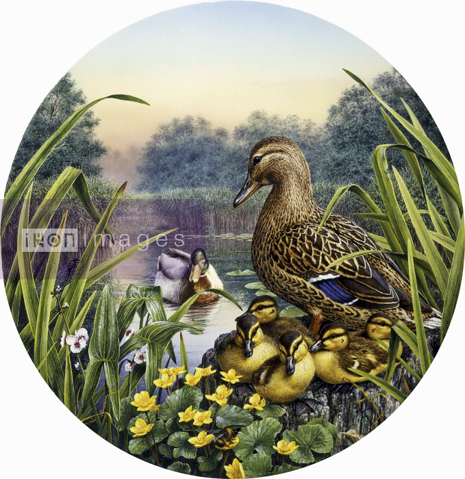 Male and female mallard ducks (Anas Platyrhynchos) with ducklings by idyllic lake - Male and female mallard ducks (Anas Platyrhynchos) with ducklings by idyllic lake - Pictorum