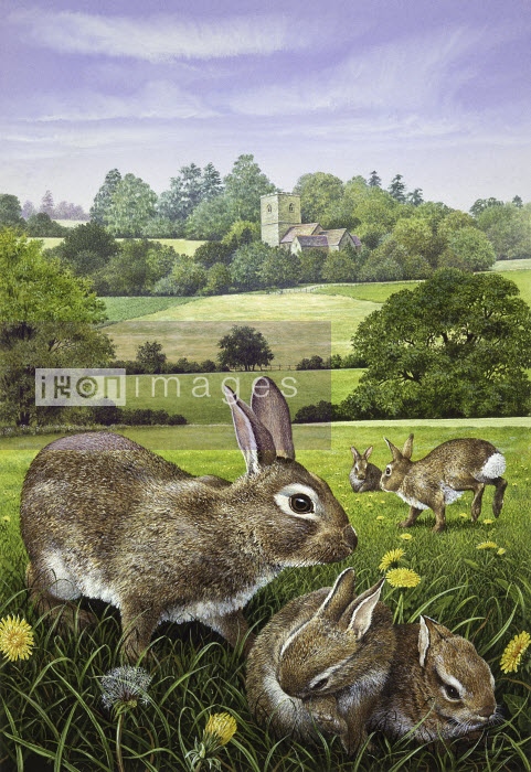 Wild rabbits in dandelion field in countryside - Wild rabbits in dandelion field in countryside - Pictorum