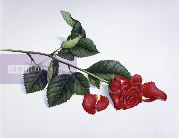Single red rose with fallen petals - Single red rose with fallen petals - Pictorum
