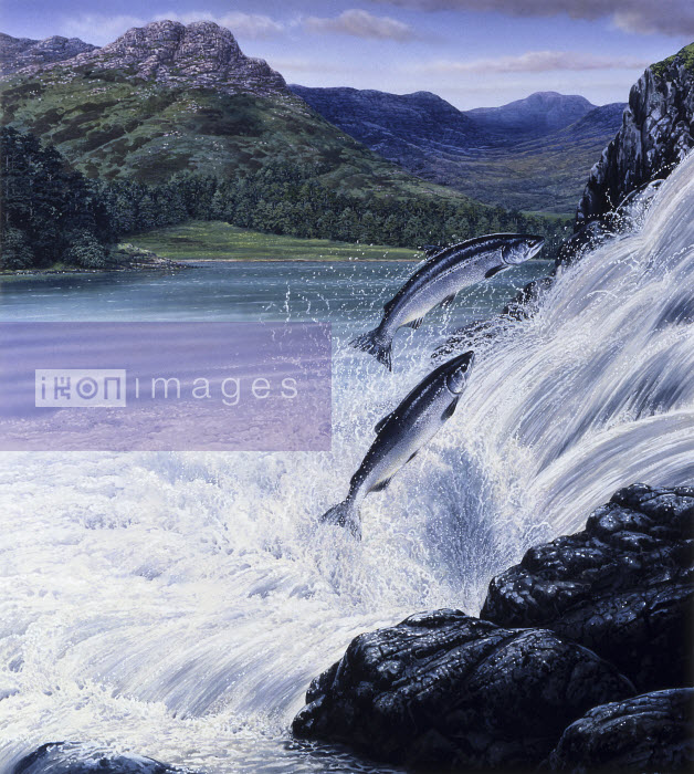 Salmon leaping up waterfall in rugged landscape - Salmon leaping up waterfall in rugged landscape - Pictorum