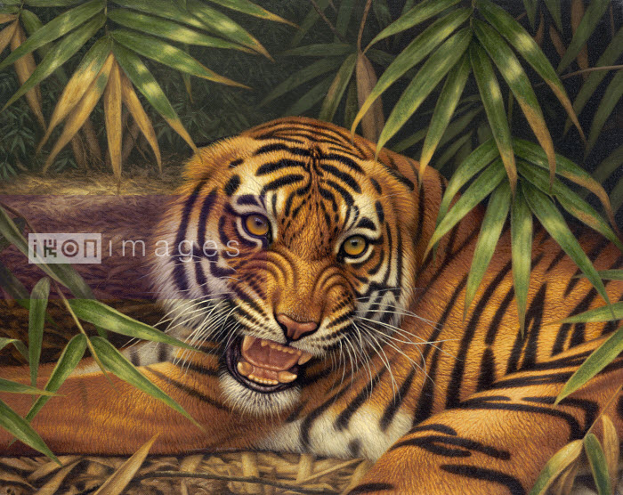 tiger, 10/3/04, 5:39 pm, 16C, 6000x8000 (0+0), 100%, Fine Art,  1/25 s, R88.5, G61.1, B65.9 - Snarling Bengal tiger lying down on forest floor - Pictorum