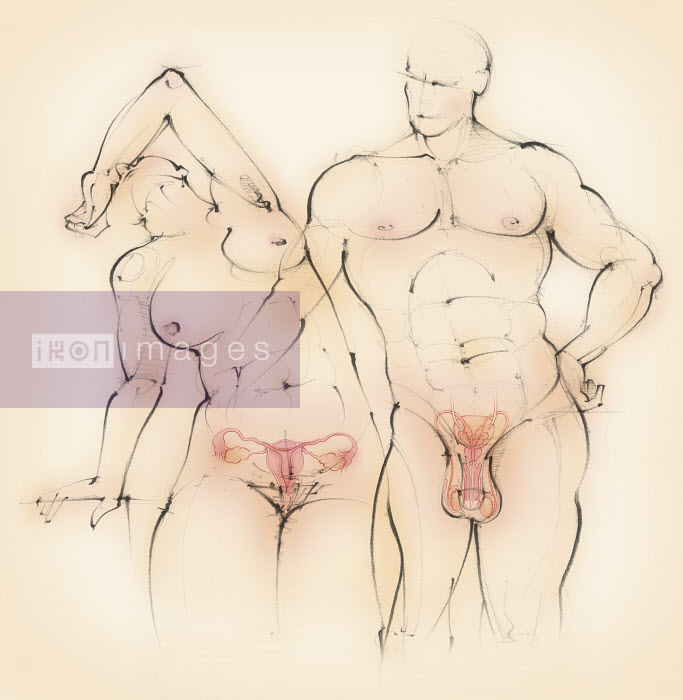 Naked man and woman showing male and female reproductive systems - Naked man and woman showing male and female reproductive systems - Juliet Percival
