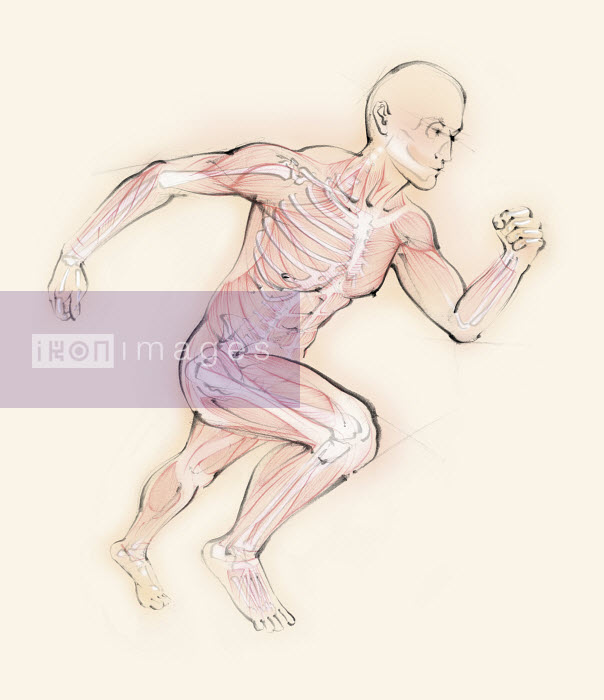 Biomedical illustration of running man showing skeleton and muscles - Biomedical illustration of running man showing skeleton and muscles - Juliet Percival