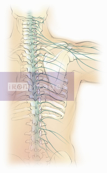 Biomedical illustration of male spine with nervous system - Biomedical illustration of male spine with nervous system - Juliet Percival