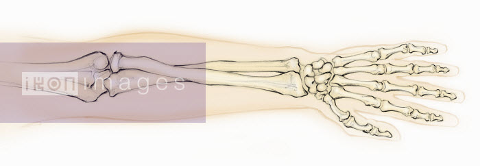 Biomedical illustration of bones in hand and forearm - Biomedical illustration of bones in hand and forearm - Juliet Percival