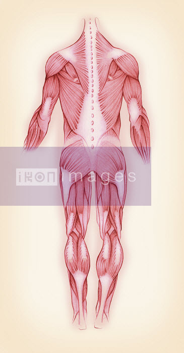 Biomedical illustration of muscles in the male human body - Biomedical illustration of muscles in the male human body - Juliet Percival