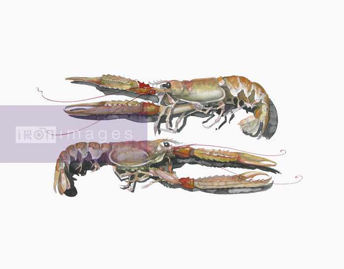 Watercolor painting of two langoustine - Watercolor painting of two langoustine - Liam O'Farrell