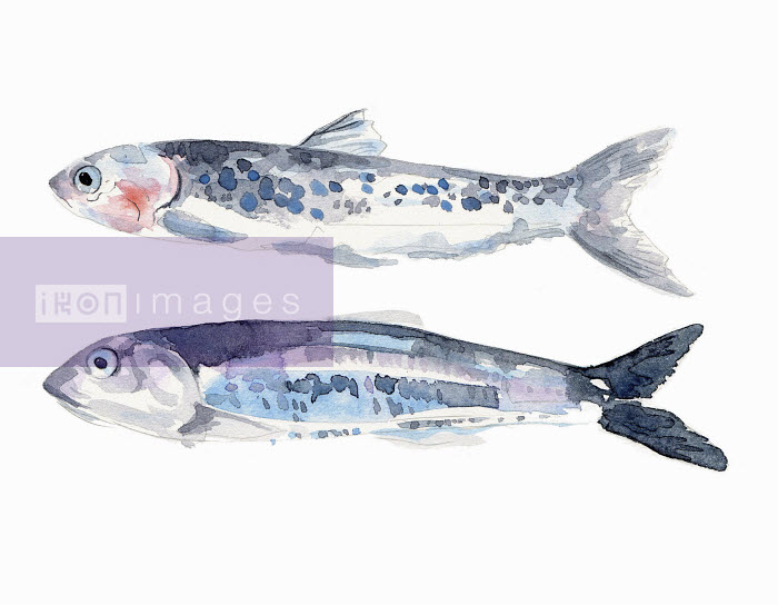 Watercolor painting of two fresh anchovies - Hannah Clarke