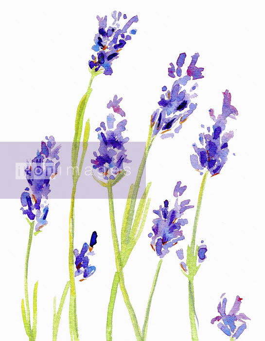 Watercolor painting of lavender - Hannah Clarke