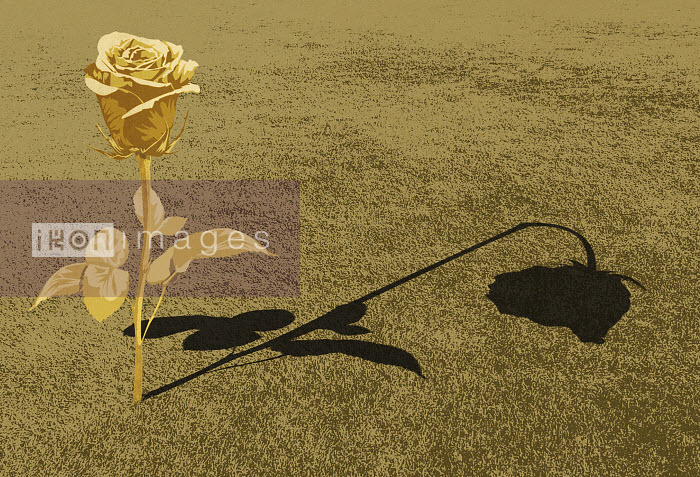 Rose in bloom casting wilting shadow - Rose in bloom casting wilting shadow - Taylor Callery