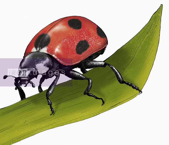 Shoto Walker - Illustration of ladybird