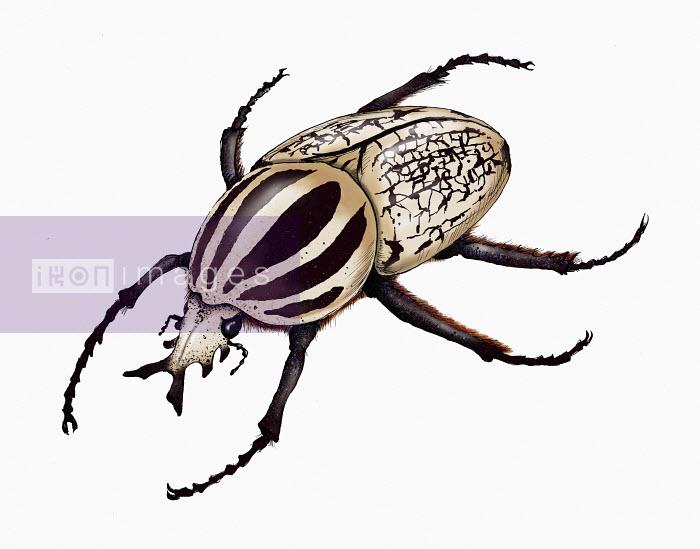 Illustration of goliath beetle - Shoto Walker