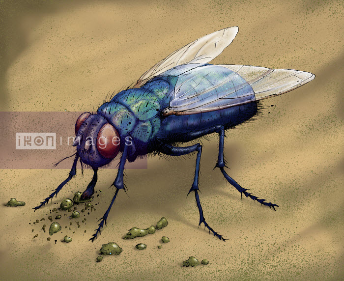 Illustration of bluebottle fly eating - Shoto Walker