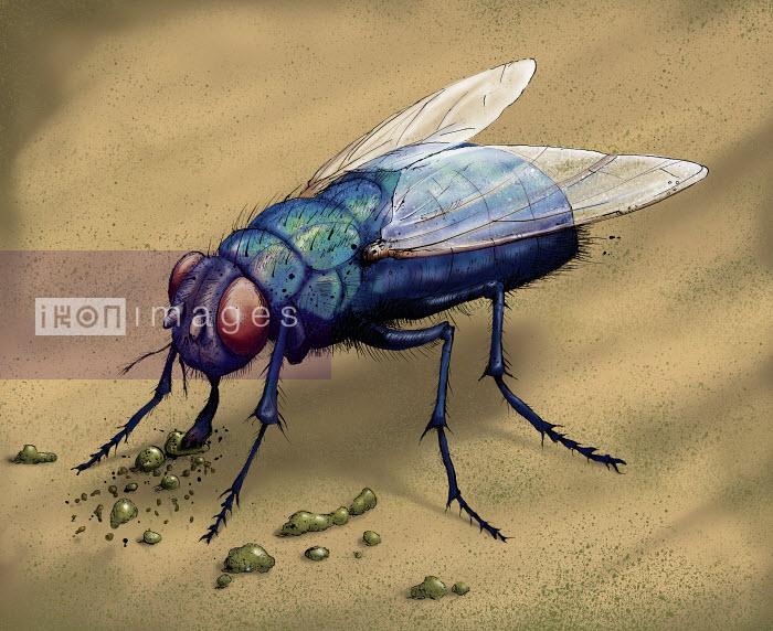 Shoto Walker - Illustration of bluebottle fly eating