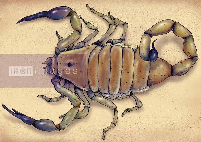 Illustration of deathstalker scorpion - Shoto Walker