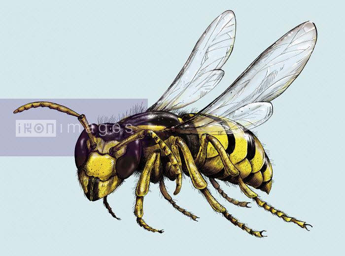 Shoto Walker - Illustration of wasp in flight