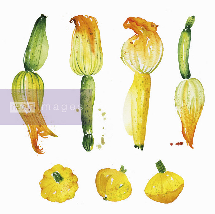 Watercolour painting of courgettes and patty pan squash Enya Todd