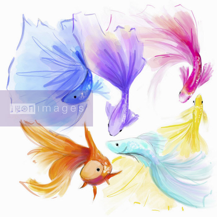 Multi coloured fantail goldfish - Stephanie McKay