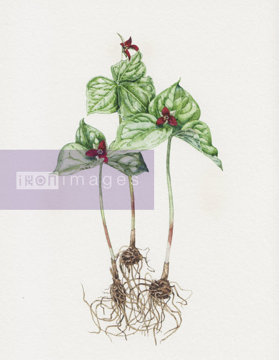 Illustration of Trillium Erectum plant - Liz Pepperell