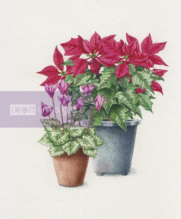 Poinsettia and cyclamen plants in pots - Liz Pepperell