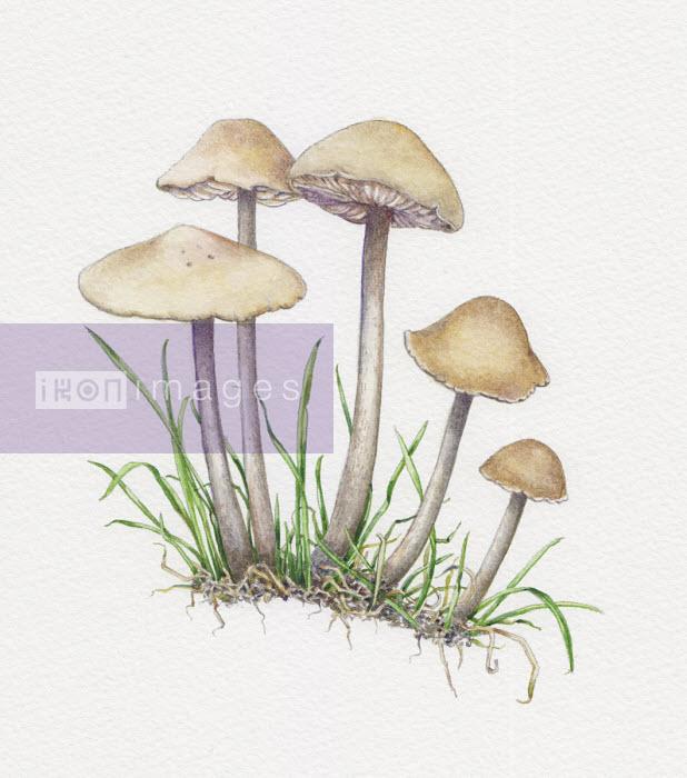 Illustration of fairy ring champignon - Liz Pepperell