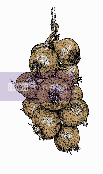 Illustration of string of onions - Andrew Pinder