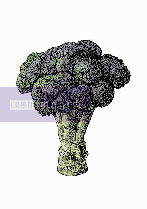 Andrew Pinder - Illustration of head of broccoli