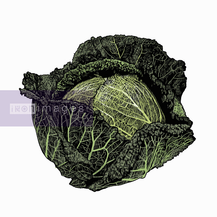 Illustration of savoy cabbage - Andrew Pinder