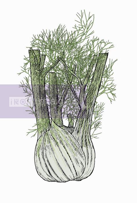 Andrew Pinder - Illustration of fennel bulb