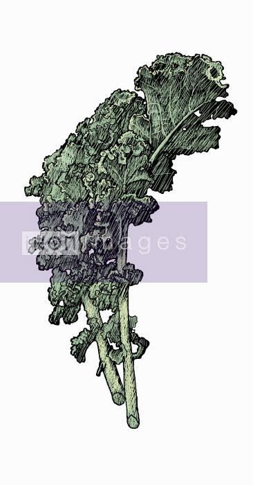 Illustration of kale leaves - Andrew Pinder