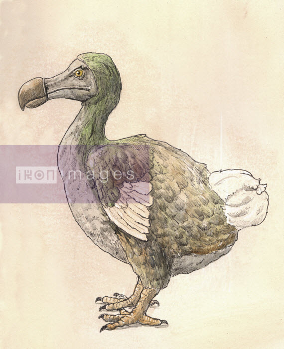 Drawing of dodo - Andrew Pinder