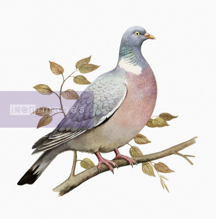 Watercolour painting of wood pigeon