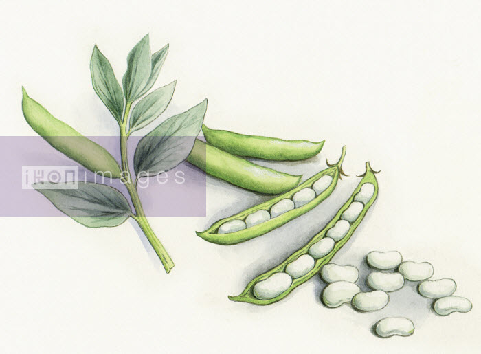 Watercolour painting of broad beans