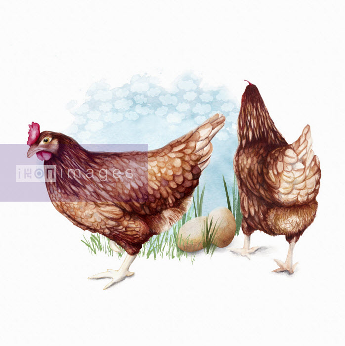 Two free range hens with eggs - Amanda Dilworth